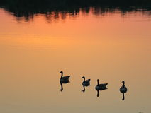 Geese silhouettes on the lake. Royalty Free Stock Image