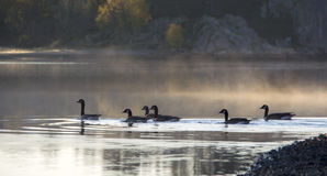 Geese. Six geese swimming in the ocean Stock Photo