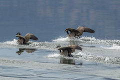Geese sliding into a water landing. Royalty Free Stock Photography