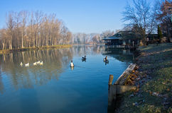 Geese on a small lake at sunny morning. Near Belgrade, Serbia Royalty Free Stock Photography