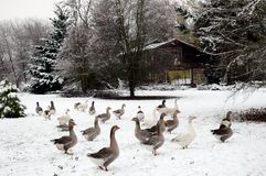 Geese in Snow. Near rural shack Royalty Free Stock Photo