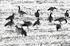 Geese in a snow covered field. A flock of geese resting in a snow covered field as they migrate south for the winter Stock Photo