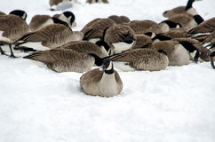 Geese in the snow looking for food Royalty Free Stock Images