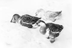 Geese in snow stock images