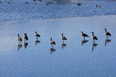 Geese on a snowy day with reflections on the ice. Stock Photos