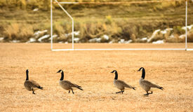 Geese In Soccer Field Stock Photo