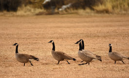 Geese In Soccer Field Stock Photos