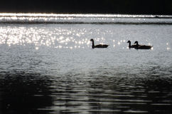 Geese on Sparkling Lake Stock Image