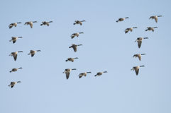 Geese Spell Fly Royalty Free Stock Photography