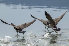 Geese splashing water while taking off. Royalty Free Stock Photography