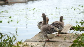 Geese stand on a wooden bridge on the lake. stock footage