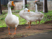 Geese Standing Stock Photos