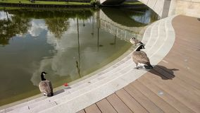 Geese on the steps Royalty Free Stock Photo
