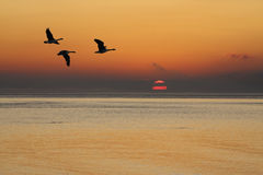 Geese at Sunrise Royalty Free Stock Image