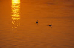 Geese at sunrise. Sunrise on the Delaware River, Pa Royalty Free Stock Photo