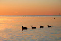 Geese on Sunrise Stock Photo
