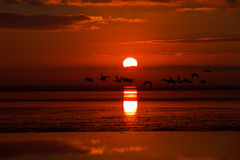Geese at sunrise Stock Photography