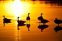 Geese Sunset Stock Photos