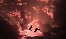 Geese at Sunset. Two geese silhouetted against a brilliant sunset Royalty Free Stock Photo