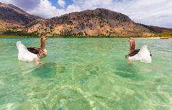 Geese on the surface of lake Kournas at island Crete, Greece. Royalty Free Stock Image