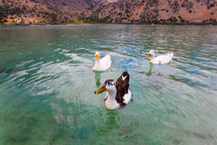 Geese on the surface of lake Kournas at island Crete, Greece. Royalty Free Stock Photography