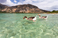 Geese on the surface of lake Kournas at island Crete, Greece. Stock Photography
