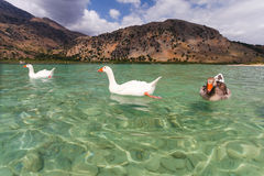 Geese on the surface of lake Kournas at island Crete, Greece. Lake Kournas is a freshwater lake on the island of Crete. Stock Photos