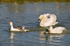 Geese and swan on water Stock Photo