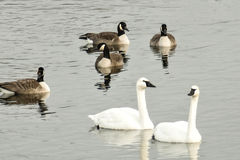 Geese and Swans royalty free stock image