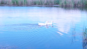 Geese and swans swimming on the lake. White geese and swans swimming on the lake a couple stock footage