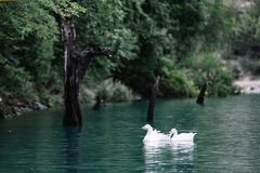 Geese swim in the blue water of the Sulak River near the rocky shore. Sulak Canyon, Dagestan stock photography