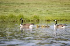 Geese Swim With Goslings Stock Image