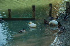 Geese. Swim in the lake Royalty Free Stock Photography