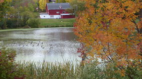 Geese Swim Next to Farm. Several geese swim in a marsh next to a farm Stock Image