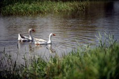 Geese swim in a rustic pond in the summer. On a sunny day stock images