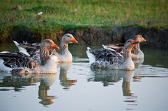 Geese swiming. Four brown geese swiming in water Stock Photos