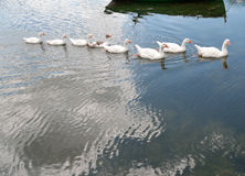Geese  swiming in row in lake Stock Photo