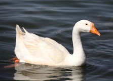 Geese Swimming Stock Photos