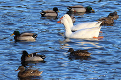 Geese Swimming with Ducks Stock Images