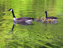 Geese swimming with goslings. Family of geese swims on a lake on the bird businesses Royalty Free Stock Photo