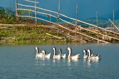 Geese swimming on lake Royalty Free Stock Photo