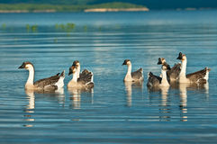 Geese swimming on lake Stock Images