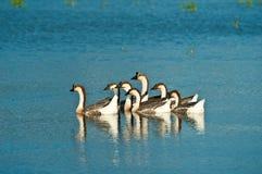 Geese swimming on lake Royalty Free Stock Photos