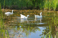 Geese swimming in a lake Royalty Free Stock Image