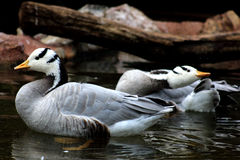 Geese. Swimming in a lake Royalty Free Stock Images