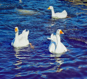 Geese swimming in lake Royalty Free Stock Image