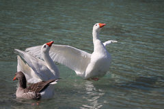 Geese swimming on the Lake Kournas, Crete Royalty Free Stock Photo