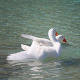 Geese swimming on the Lake Kournas, Crete Stock Image