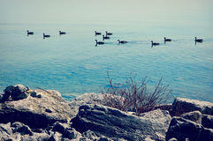 Geese Swimming On Lake Michigan royalty free stock photo