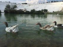 Geese swimming on lake in Pamukkale town of Denizli in Turkey Stock Photos